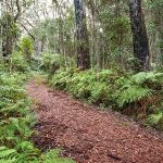 Forest walking track, Gibraltar Range National Park